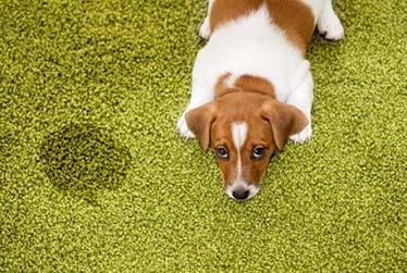 Pet Urine & Odor Removal